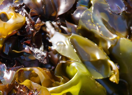 WET AND DRY SEAWEED